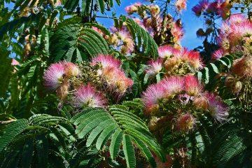 Comment tailler les arbres de mimosa au Royaume-Uni