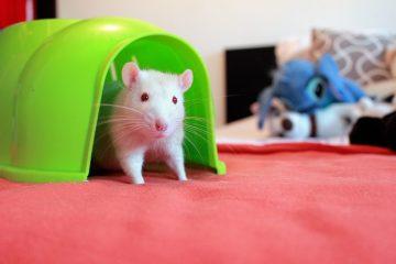Comment trouver où sont les rats à l'intérieur de votre maison