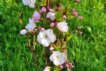 Liste des arbustes parfumés