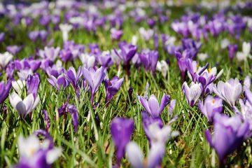 Plantes à tige carrée à fleurs violettes