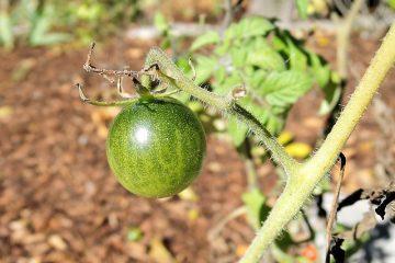 Quel type de tomates pousse le plus rapidement ?