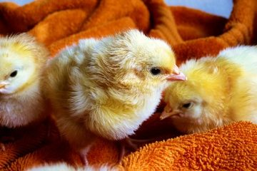 Quels sont les traitements contre les vers oculaires chez les poulets ?